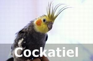 happy cockatiel sounds
