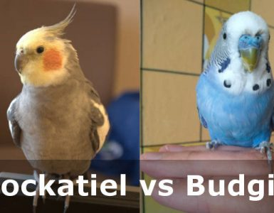 bird cockatiel vs budgie