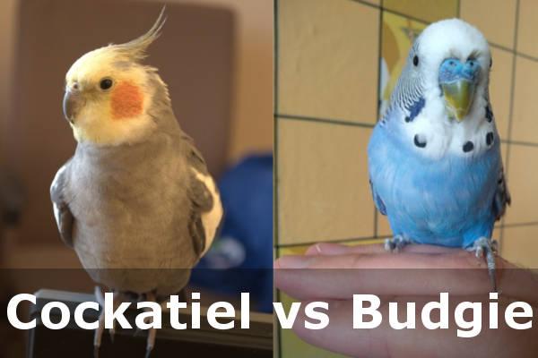 bird cockatiel vs budgie