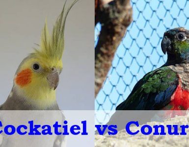 cockatiel vs conure intelligence