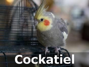 cockatiel birds as pets