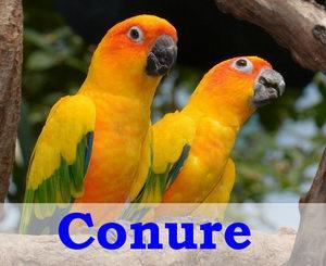 types of conures birds