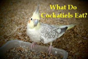 what do cockatiels eat for treats