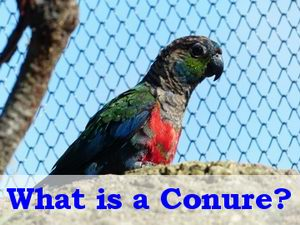 Cockatiel vs Conure: Differences and Basic Benefits