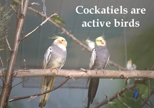 good cockatiel behavior