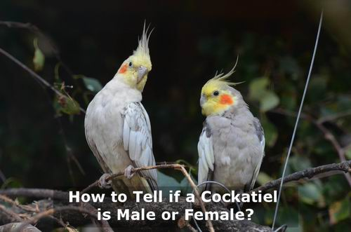 how to tell if a cockatiel is male or female