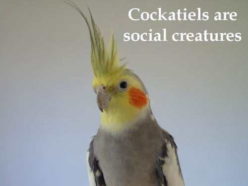 friend cockatiel