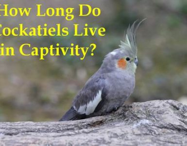 how long do cockatiels life in captivity