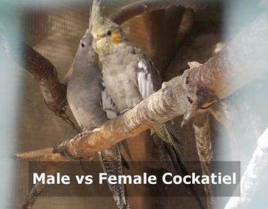male vs female cockatiel
