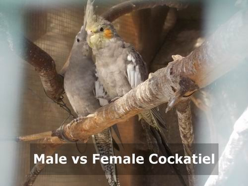 male vs female cockatiel