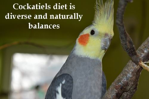 best nutrition for cockatiels