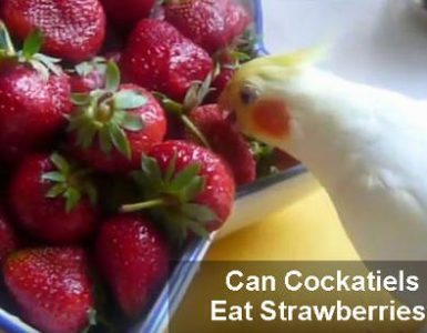 can cockatiels eat strawberries