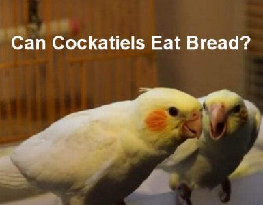 can cockatiels eat bread